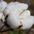 Fluffy White Alabama Cotton by Kathy Clark