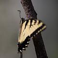 Fluttering Swallowtail by Rikk Flohr