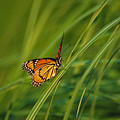Fluttering Through The Summer Grass by Lori Tambakis