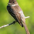 Flycatcher by William Krumpelman