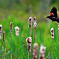 Flying Amongst Cattails by James F Towne
