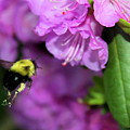 Flying Bee Collecting Pollen by Anita Hiltz