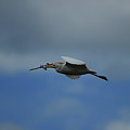 Flying Cattle Egret by Robert Hamm