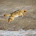 Flying Coyote by Rikk Flohr
