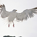 Flying European Herring Gull by Heiko Koehrer-Wagner