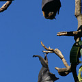 Flying Foxes In Sydney by Jessica Rose