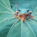 Flying Frog Wallace by Riza Arif Pratama