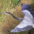 Flying Great Blue Heron by Travis Truelove