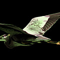 Flying Heron With Black Background by Laura Birr Brown
