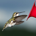 Flying Hummingbird Close-up by Al  Mueller