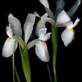 Flying Irises 2 by David Hendrickson
