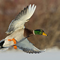 Flying Mallard by Steve Oehlenschlager