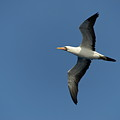 Flying Masked Booby In Flight by Sami Sarkis