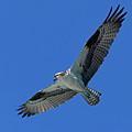 Flying Osprey by Randall Ingalls
