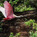 Flying Spoonbill by Barb Thompson