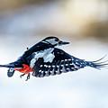 Flying Woodpecker by Torbjorn Swenelius