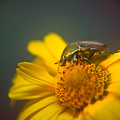 Focused June Beetle by Douglas Barnett