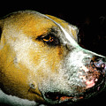 Focused Pitbull by Michael Frizzell