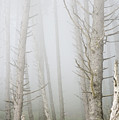 Fog In The Forest by Robert Potts