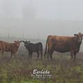 Foggy Mist Cows #0092 by Barbara Tristan