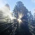 Foggy Redwood Sunrise by Matt Johnson