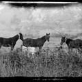 Horse Trio In Morning Fog by Toni Hopper