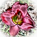 Foiled Beauty - Daylily by MTBobbins Photography