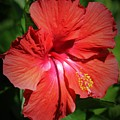 For The Love Of Hibiscus by Diann Fisher