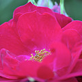 For The Love Of Rose 8 by Victor K