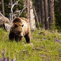 Foraging Grizzly by Chad Davis