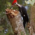 Foraging Pileated Woodpecker by DigiArt Diaries by Vicky B Fuller