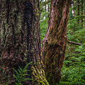 Forest At Camp Creek, Olympic National Forest, Washington, 2016 by Steve G Bisig