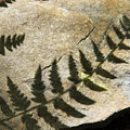 Forest Fern Shadows by Christina Rollo