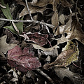 Forest Floor - Leaf 10 by Pete Hellmann
