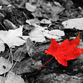 Forest Floor Maple Leaf by Adam Pender