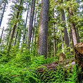 Forest Floor Of Hoh Rain Forest by Dan Sproul