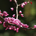 Forest Pansy Redbud Branch In May by Anna Lisa Yoder