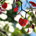 Forest Pansy Redbud Leaves In Spring by Anna Lisa Yoder