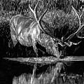 Forest Royal Bull Elk by Dan Pearce