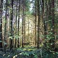 Forest Sunshine by John Quinn