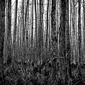 Forest Thru The Trees by William Haas
