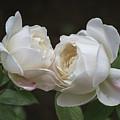 Forever And Always - Desdemona Roses by Teresa Wilson