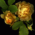 Forever Yellow Roses by Deborah J Humphries