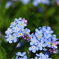 Forget Me Not 1 by Mo Barton