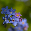 Forget Me Not 2 by Mo Barton