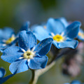Forget -me-not 3 by Jouko Lehto