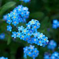 Forget -me-not 5 by Jouko Lehto