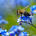 Forget Me Not Bee 2 by Sharon Talson