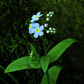 Forget-me-not by Bill Morgenstern
