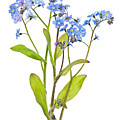 Forget-me-not Flowers On White by Elena Elisseeva